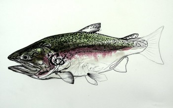 Alaskan Rainbow Trout Study  Modern Abstract Fish Art Artwork Paintings J Vincent Scarpace
